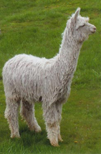 Featured Alpaca